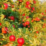 Обрезка плодовых деревьев,винограда