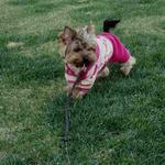 Гламурная девочка Йорка на прогулке:-)