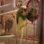 Передержка волнистого попугайчика 10 дней