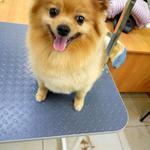 Услуги по уходу за шерстью собаки, Грумер в Вышгороде