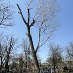 Кронирование и спил деревьев