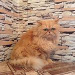 Стрижка, груминг персидских котов