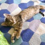 Передерка кота Лео 1 неделя Все необходимое (корм, лоток, миски и игрушки) хозяева предоставили