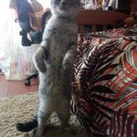 Передержка котика, милашки шотландца Атома, 4 дня