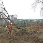 Услуги кронирования Киев. Спил сухостойных, аварийных деревьев.